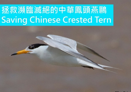 拯救瀕臨滅絕的中華鳳頭燕鷗 SAVING CHINESE CRESTED TERN FROM EXTINCTION