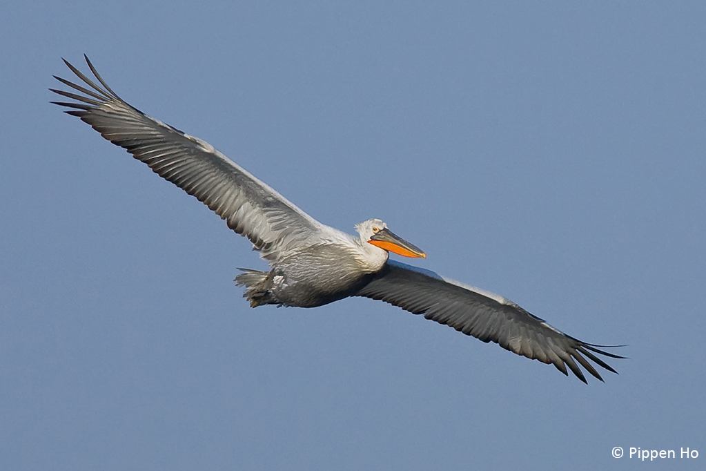 Below 150 individuals in East Asia  Last chance for Dalmatian Pelican