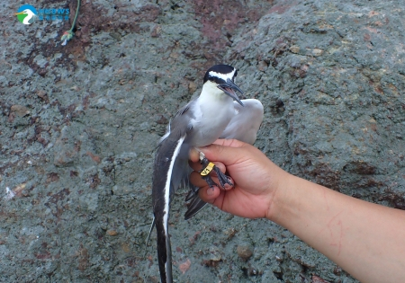 Conservation Research of breeding terns in Hong Kong