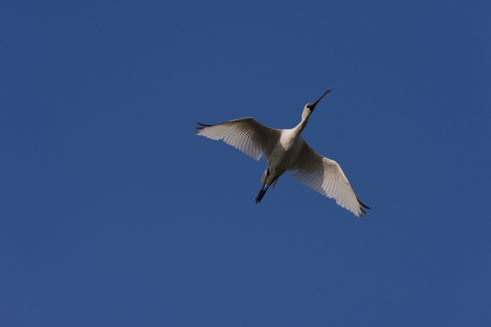 Black-faced Spoonbill population hits record high  Number in HK continues to decline   Protection of Deep Bay in urgent need