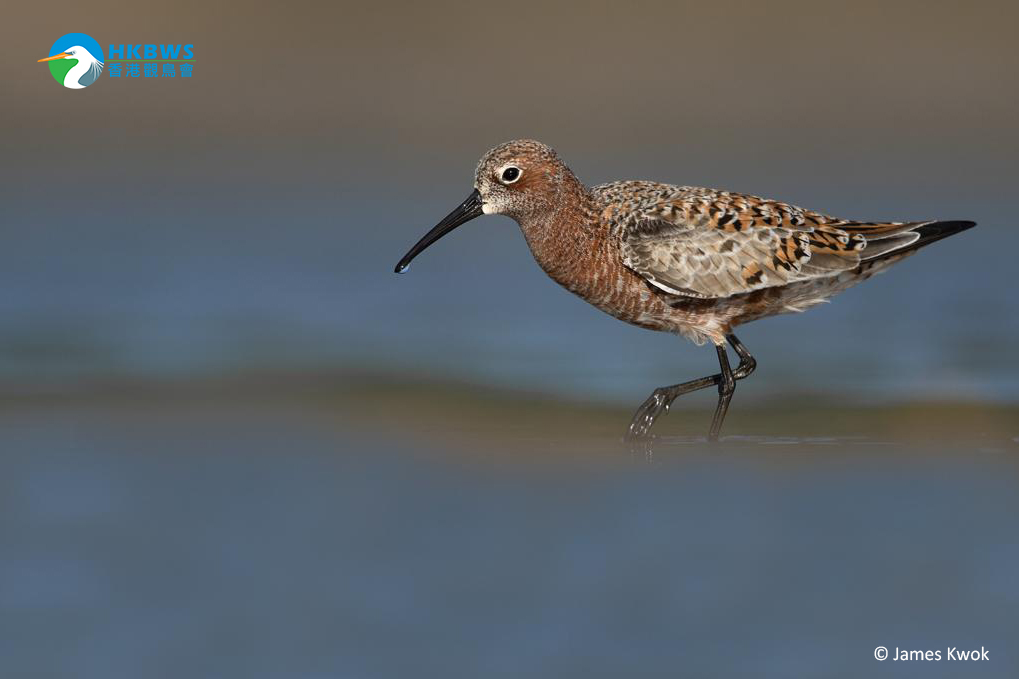 The World Migratory Bird Day – A probable oldest record of Curlew Sandpiper