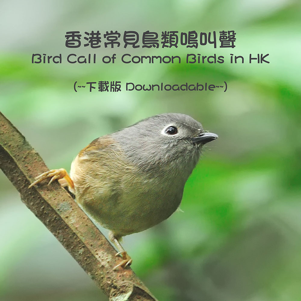 香港常見鳥類鳴叫聲(下載版) Bird Call of Common Birds in HK (Downloadable)